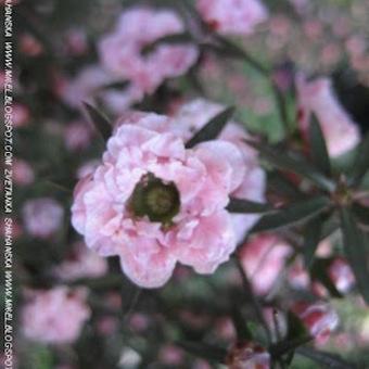 Име:  don-t-worry-be-happy-chaeno-darvo-leptospermum.jpg Прегледи: 1215 Размер:  39.4 Кб